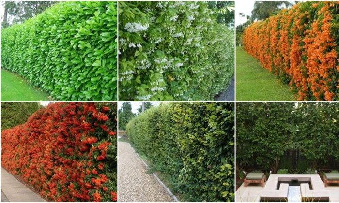 สร้างพื้นที่ส่วนด้วยธรรมชาติ กับการปลูกต้นไม้เป็นรั้วบังตา