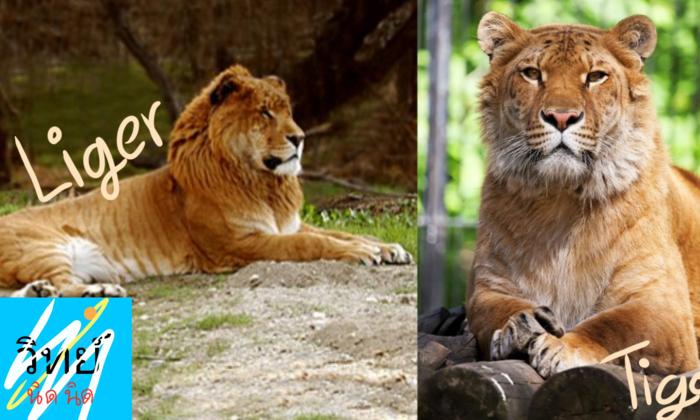 เชื่อไหมครับ ว่า เสือ และ สิงโต สามารถผสมพันธุ์กันได้ ?