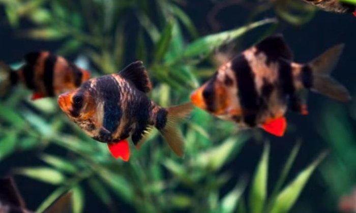 ปลาเสือ สุมาตรา นั้นดูเพศกันอย่างไร ?