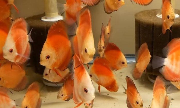 จะทำยังไง ให้ปลาปอมปาดัวร์ กินอาหารสำเร็จรูปได้ครับ ?