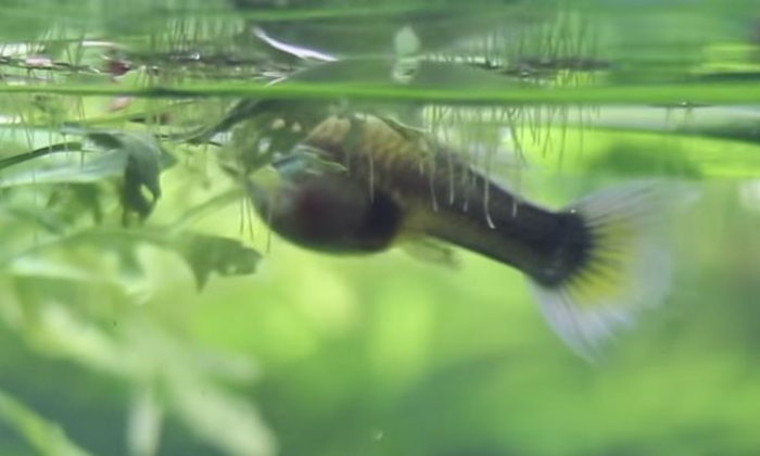 ทำยังไงดี ? ปลาหางนกยูงออกลูกมาแล้วชอบกินลูกตัวเองครับ