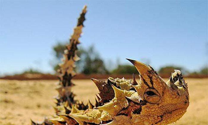 กิ้งก่ามังกร ที่ ออสเตรเลีย