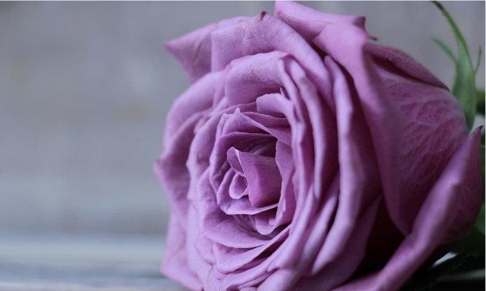 บทกวี...กุหลาบสีม่วง