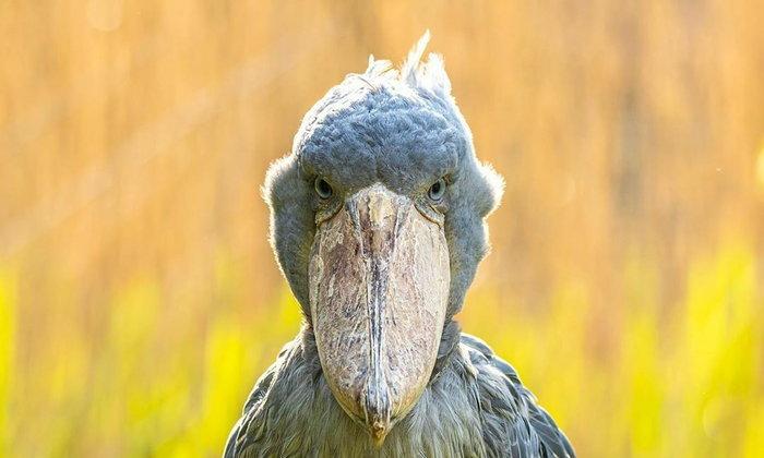 นกกระสาปากพลั่ว นกยักษ์ใกล้สูญพันธ์ุ