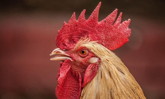 เรื่องเล่าบ้านคุณยาย ตอน ลูกไก่สีชมพู