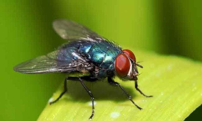 วิชาฟิสิกส์กับการกำจัดแมลงวัน