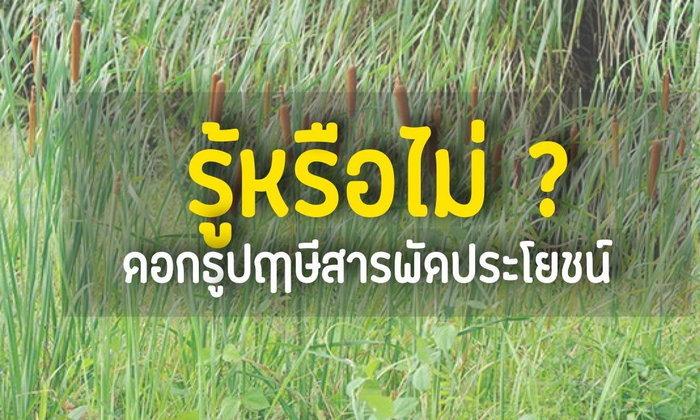 รู้หรือไม่ ? : ต้นธูปฤาษีสารพัดประโยชน์