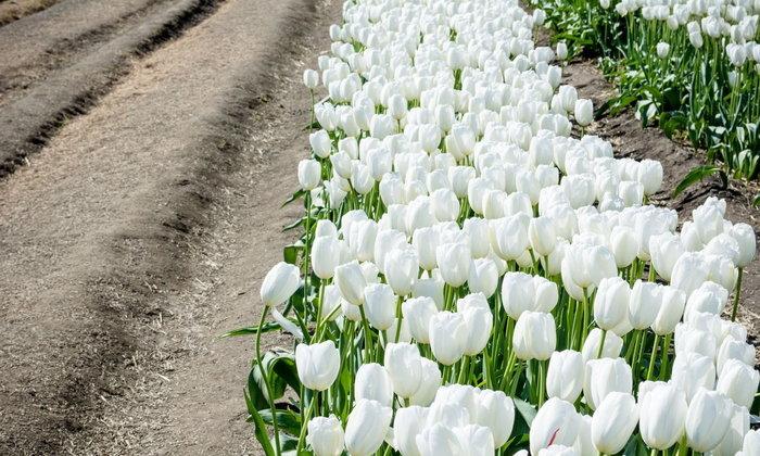 ดอกไม้สีขาว ตอน ความหมายของสีขาว