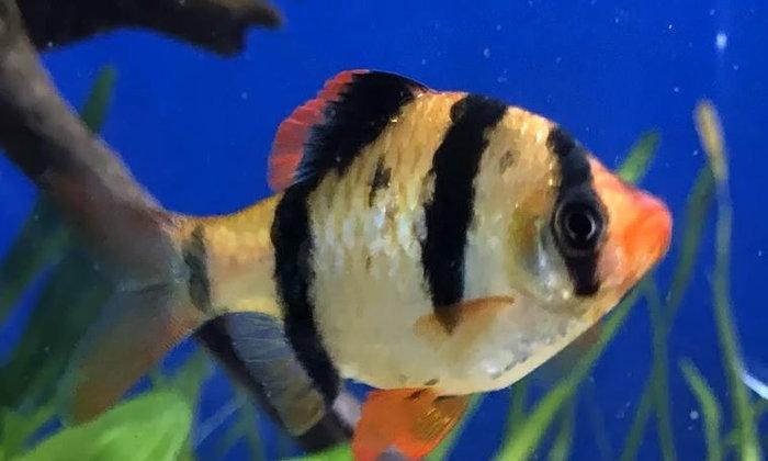 ปลาเสือสุมาตรา สามารถเลี้ยงรวมกับปลาชนิดใดได้บ้าง ?