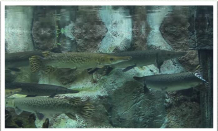 อยากเลี้ยงพวกปลาจระเข้ (อัลลิเกเตอร์ การ์ ) จนโต ในตู้ 24 นิ้วไหวไหมครับ ?