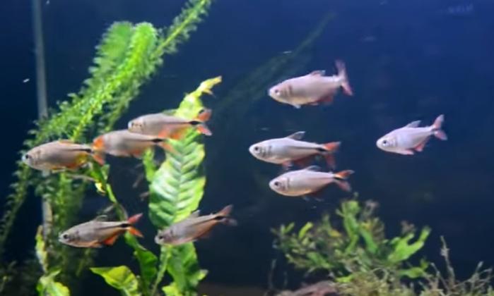 แนะนำปลาสวยงามน่าสนใจ : Buenos Aires Tetras