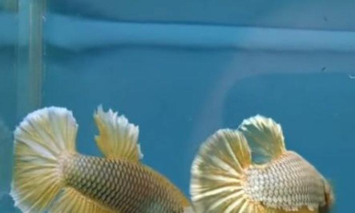 ปลากัดนั้นกัดกันจนปากเป็นแผล จะรักษาได้อย่างไรดีครับ ?