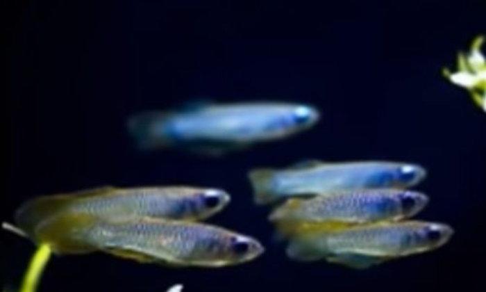 ปลาแลมพ์อาย เป็นปลาฝูงหรือไม่ เอามาเลี้ยงร่วมกับปลาอื่นๆได้ไหม ?