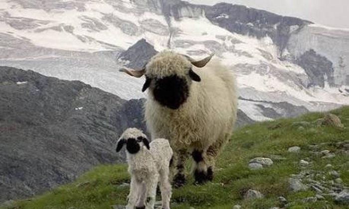เเกะวาเลส์จมูกดำ (Valaise Blacknose Sheep) ปีศาจน้อยสุดน่ารักจาก