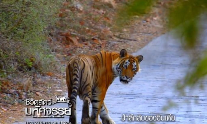 ชีวิตสัตว์โลก : ความพยายามในการอยู่ร่วมกันระหว่างเสือกับผู้คนในเขตอนุรักษ์ประเทศอินเดีย