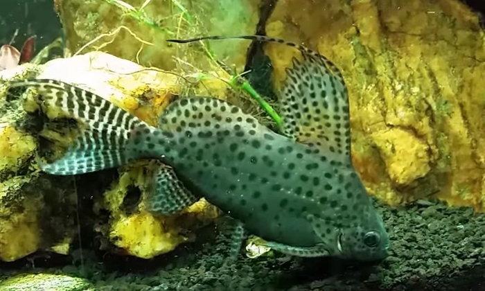 แนะนำปลาสวยงามน่าสนใจ : ปลาแมวกระโดงสูง