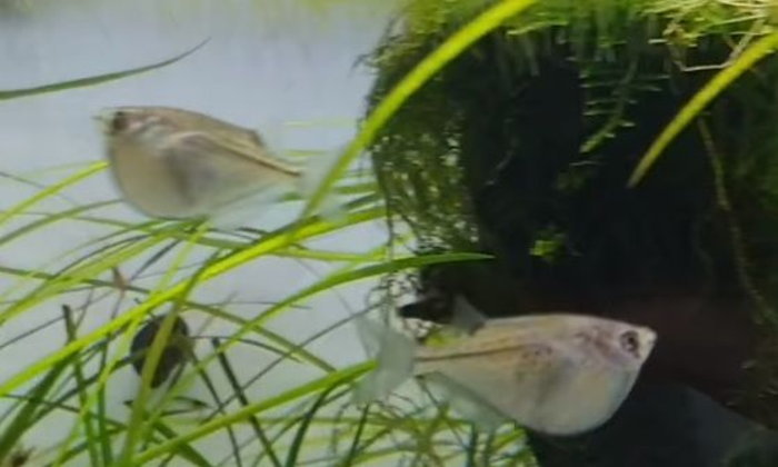 แนะนำปลาสวยงามน่าสนใจ : ปลาขวานบิน