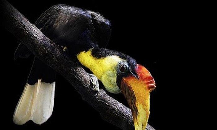 นกเงือก สัตว์อนุรักษ์นักปลูกป่า