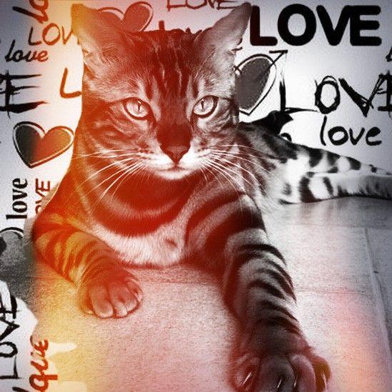 แมวซ่าลายเสือ(๔)