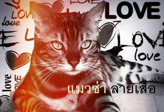 แมวซ่าลายเสือ(๖)