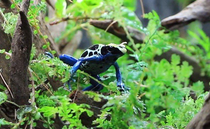 การเลี้ยงลูกของกบลูกศรพิษ ( Poison Dart Frog )