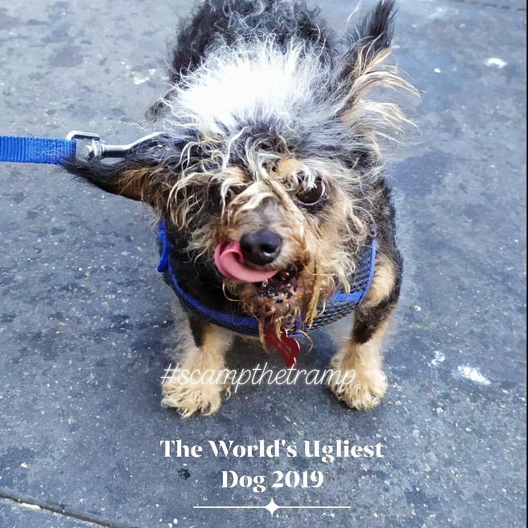 แชมป์สุนัขที่น่าเกลียดที่สุดในโลก 2019