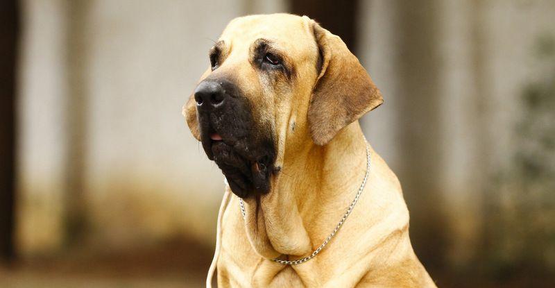 สุดยอดสุนัขอารักขา ฟิล่าบาซิลเลียโร่