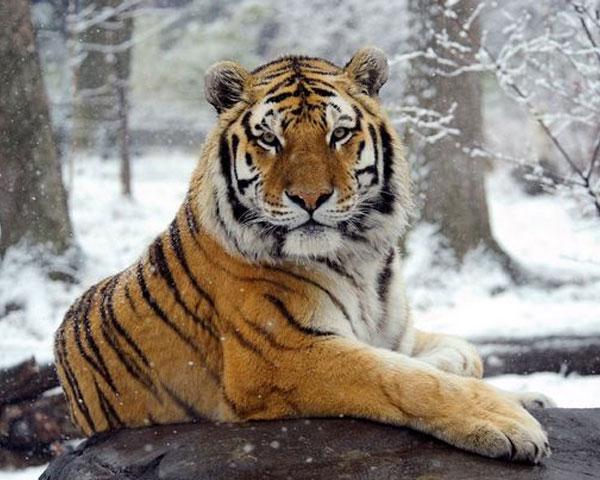 เสือในนิวยอร์กติดเชื้อโควิด-19