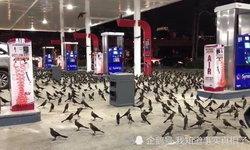 นกทั้งปั๊ม ผู้คนประหลาดใจฝูงนกนับร้อย บินอพยพมานอนปั๊มน้ำมัน