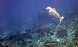 ล้ำไปอีก MIT เปิดตัวหุ่นยนต์ปลา 'SoFi' ว่ายน้ำได้เหมือนปลาจริง