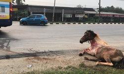 ภาพสะเทือนใจ ตีนผีชนม้าขาหัก 4 ข้าง ก่อนขาดใจตายอยู่ริมทาง