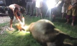 ฟ้าพิโรธ ผ่าแม่วัวท้องแก่ใกล้คลอดตายกลางทุ่งนา