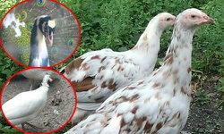 บุพเพสันนิวาส นกยูงพบรักไก่ต๊อก พร้อมโซ่ทองคล้องใจพันธุ์ใหม่