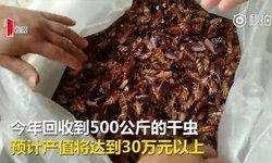 """เจ้าของฟาร์มจีนโชว์กิน """"แมลงสาบ"""" เผยขายได้กิโลกรัมละ 3,000"""