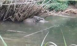 ชาวบ้านแตกตื่น ช้างป่าพลัดหลงฝูง ลงเล่นน้ำและทำลายผลผลิตการเกษตรเสียหาย