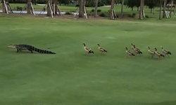 นักกอล์ฟเป็นงง จระเข้เดินนำฝูงห่านข้ามสนามกอล์ฟที่ฟลอริดา