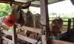 เกษตรกรไทยเจ๋ง! นำตะกร้าครอบปากวัว ป้องกันแทะเล็มหญ้าข้างทางที่มีสารเคมีปนเปื้อน