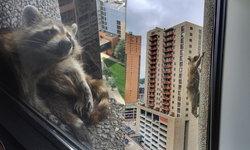 """""""แรคคูน"""" สวมวิญญาณนินจา ปีนตึก 23 ชั้น - ชาวเมืองฮือฮา แห่ถ่ายคลิปลงโซเชียล"""