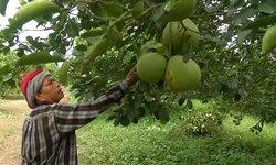 โจรชุม! ลักตัดส้มโอชาวสวนร่วม 100 กก. สูญเงินหลายหมื่น เพิ่มเวรเฝ้าระวัง 24 ชม.