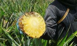 เคราะห์ซ้ำกรรมซัด ชาวไร่สับปะรด สุดช้ำราคาตก ซ้ำยังถูกช้างป่าบุกยึดพื้นที่