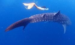 ฉลามวาฬโผล่ทะเลชุมพร แหวกว่ายน้ำเล่นกับเงือกสาว