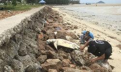 """สลดใจ! พบซาก """"เต่าตนุ"""" ถูกคลื่นซัดเกยหาดเกาะสมุยเป็นตัวที่ 9 ในรอบ 2 เดือน"""