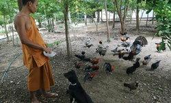 ช่วยเอาไปที! พระวัดป่าประกาศแจกไก่ป่า 400 คู่-สุนัขกว่า 70 ตัว เหตุไม่ไหวจะเลี้ยง