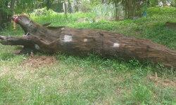 คอหวยไม่พลาด พบต้นตะเคียนทองฝังดินอายุกว่า 300 ปี เลขโผล่คาตา