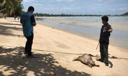 """พบอีกแล้ว-ซาก """"เต่าตนุ"""" ถูกคลื่นซัดเกยหาดเกาะสมุยเป็นตัวที่ 10 ในรอบ 2 เดือนนี้"""