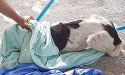 """""""สุนัขจรจัด"""" ถูกคนใจบาปยิง """"ลูกดอก"""" ปักคาหลัง ชาวบ้านแจ้งกู้ภัยช่วยเหลือด่วน"""
