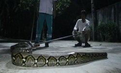 """เกลี้ยงเล้า...เจ้าของบ้านช็อก """"งูเหลือมยักษ์หางด้วน"""" บุกมาเขมือบไก่และเป็ด"""