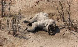 พบซากช้าง 87 ตัว ถูกฆ่าเฉือนหน้าถอดงา ใกล้เขตอนุรักษ์ในบอตสวานา