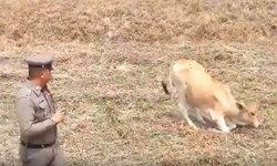กระบะชนวัวสาวขาหัก-กระเด็นตกกลางทุ่งนา หลังวิ่งตัดหน้ารถหาแหล่งน้ำกิน