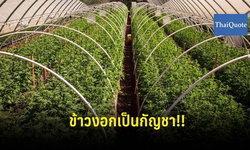 บุกรวบศูนย์ปลูกข้าว ที่แท้บังหน้าผลิตกัญชา 200 ต้น